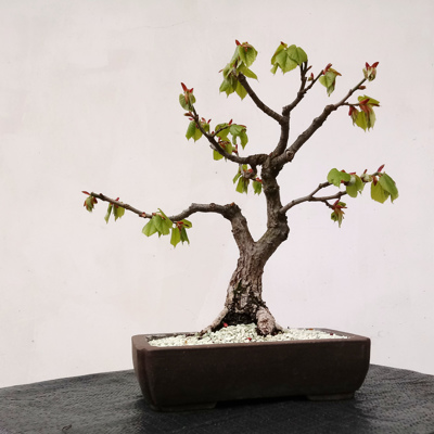 Linden (Basswood or Lime) Bonsai